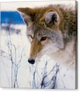 Coyote Listening  For Prey Canvas Print