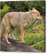 Coyote On A Log Closeup Canvas Print