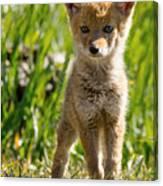 Coyote Pup Canvas Print