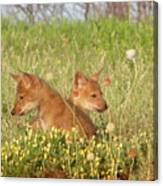 Coyote Pups Canvas Print