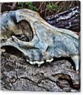 Coyote Skull Canvas Print