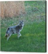 Coyote Stance  Canvas Print