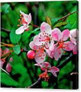 Crab Apple Blossom Canvas Print
