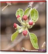 Crab Apple Buds Canvas Print