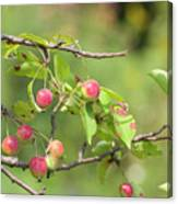 Crab Apple Fruit Canvas Print