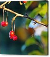 Crab Apples Branches P 6543 Canvas Print