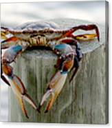 Crab Hanging Out Canvas Print