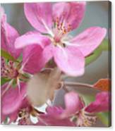 Crabapple Tree  Pink Flowers Canvas Print