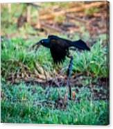 Grackle In The Morning  Canvas Print