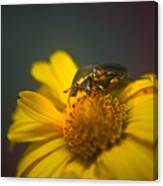 Crawling June Beetle Canvas Print