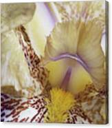 Cream And Purple Iris Canvas Print