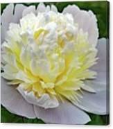 Creamy Petals - Double Peony Canvas Print