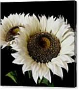 Creamy Sunflowers Canvas Print