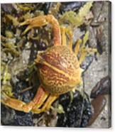 Creatures Of The Gulf - Lost Treasure Canvas Print