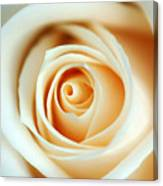 Creme Rose Canvas Print