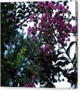 Crepe Mrytle Blossoms Canvas Print