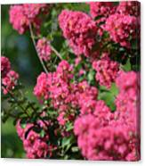 Crepe Myrtle Blossoms 2 Canvas Print