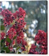 Crepe Myrtle Tree Blossoms Canvas Print