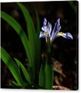 Crested Iris In Lost Valley Canvas Print