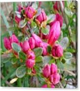 Crimson Azalea Buds Canvas Print