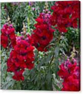 Crimson Snapdragons Canvas Print