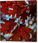 Crimson Oak Canvas Print