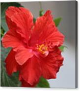 Crimson Red Hibiscus in Desert Sun Canvas Print