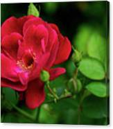Crimson Red Rose By Kaye Menner Canvas Print