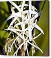 Crinum Spiderlily Flower Canvas Print