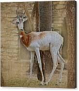 Critically Endangered Dama Gazelle Canvas Print