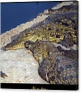 Crocodile Canvas Print