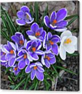 Crocus 6675 Canvas Print