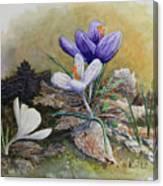 Crocus Canvas Print
