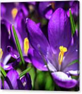 Crocus Amongst Us Canvas Print
