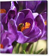 Crocus And Bee Canvas Print