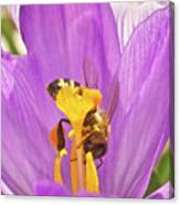 Crocus And The Bee Canvas Print