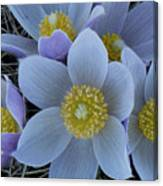 Crocus Blossoms Canvas Print