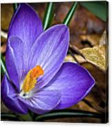 Crocus Emerging Canvas Print