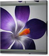 Crocus Triptych. Canvas Print