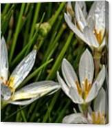 Crocus White Flowers Canvas Print