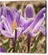 Crocuses 2 Canvas Print