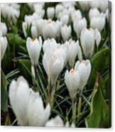 Crocuses 5 Canvas Print