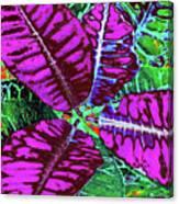 Croton - Purple Canvas Print
