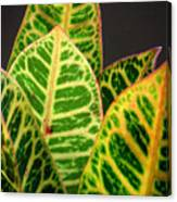 Croton Leaves In Profile Canvas Print