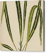 Croton Variegatum Angustifolium Canvas Print