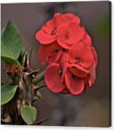 Crown Of Thorns  Canvas Print