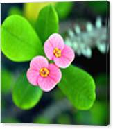 Crown Of Thorns Flowers Canvas Print