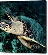 Cruising Hawksbill Canvas Print