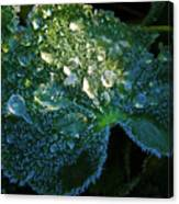 Crystal Lady's Mantle Canvas Print