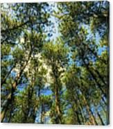 Crystal Lake Il Pine Grove And Sky Canvas Print